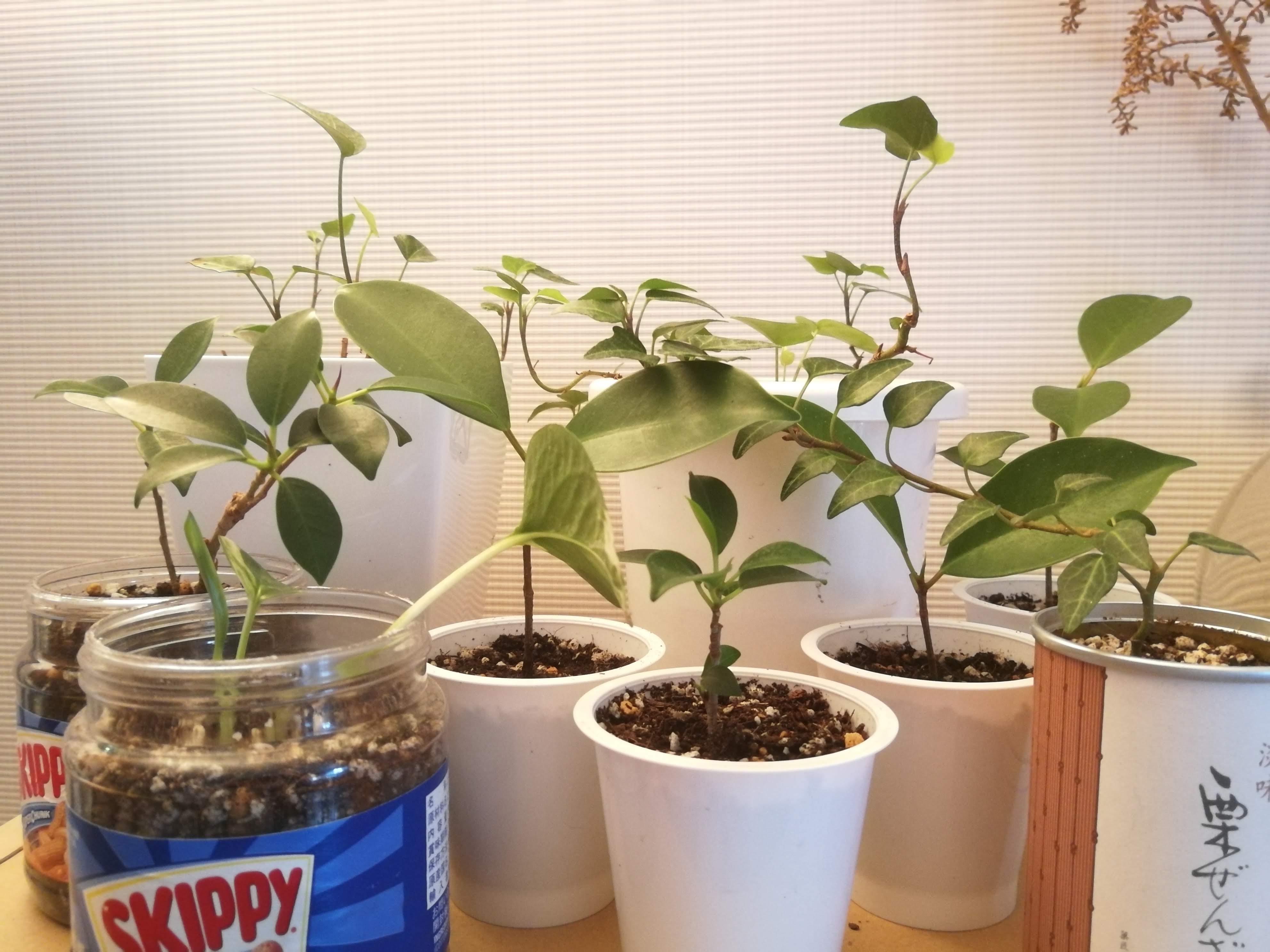 文とは関係ないけど、うちでワサワサ増えた植物、ほしい方お譲りしますー!
