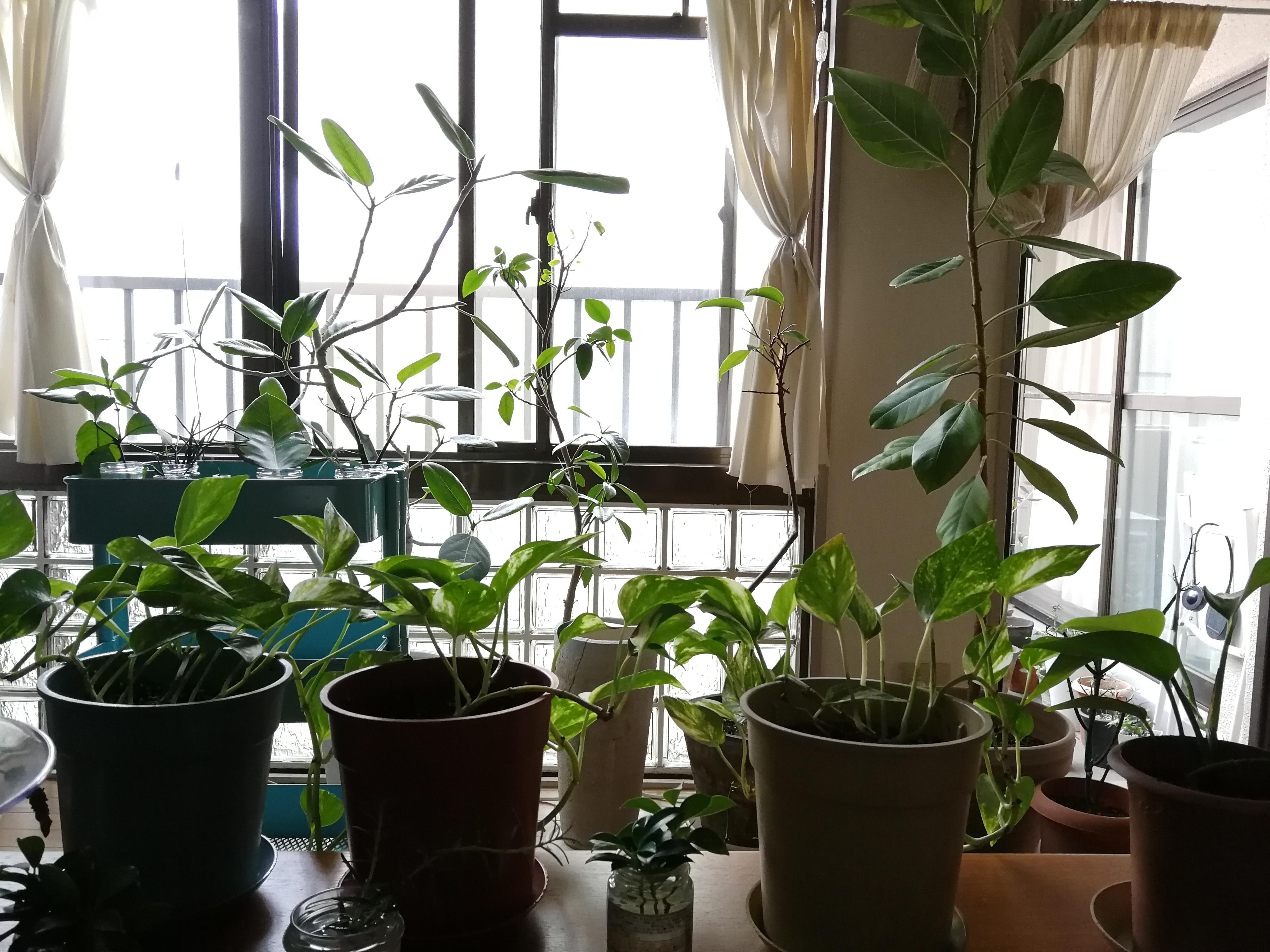 文とは、関係ないけど、うちの観葉植物。増えたらまた、お譲りしますね。
